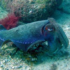 cuttlefish-circle