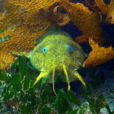estuarine-catfish-circle