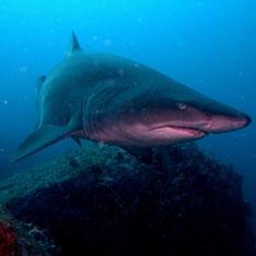 shark-circle