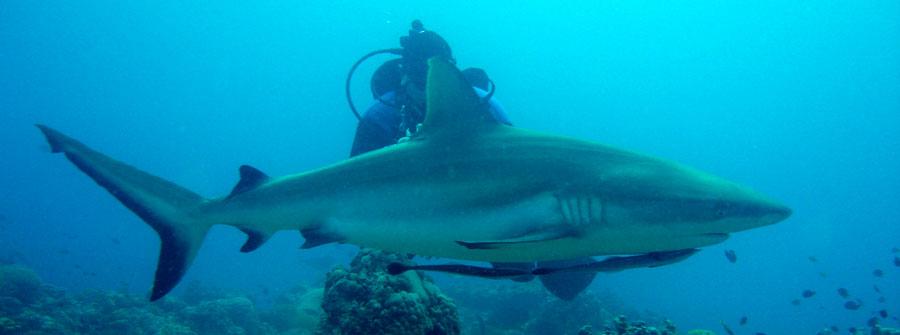 shark-long