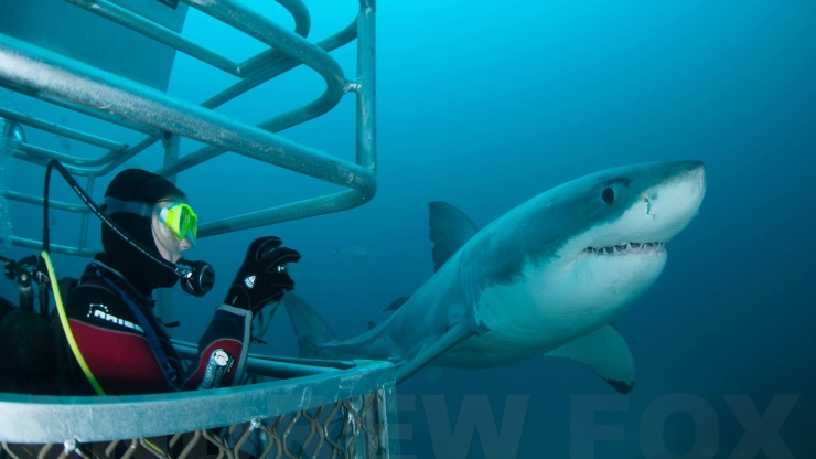 Great White Sharks Rodney Fox Dive Centre Manly